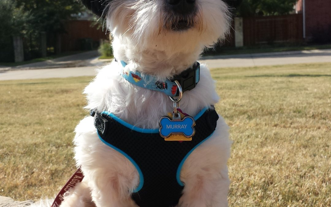 dog walking Frisco Texas