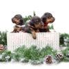 christmas_puppies