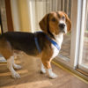 beagle_puppy_looking_outside