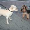 dogs_walking