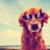 a cute golden retriever toned with a retro vintage instagram fil